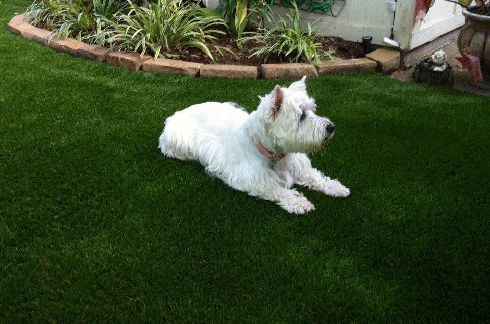 dog enjoying the clean and green synthetic turf by Courts and Greens in Bakersfield
